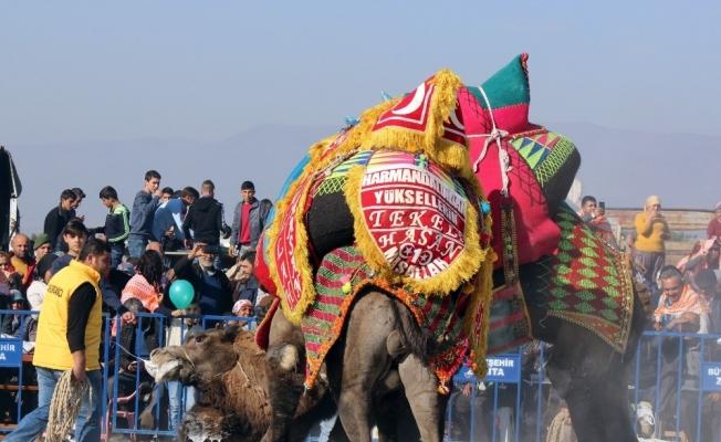 Salihli deve güreşi festivaline hazırlanıyor