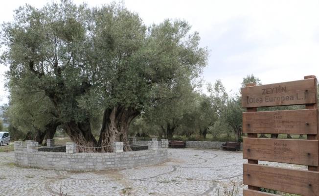 1655 yıllık zeytin ağacı turizme kazandırılıyor
