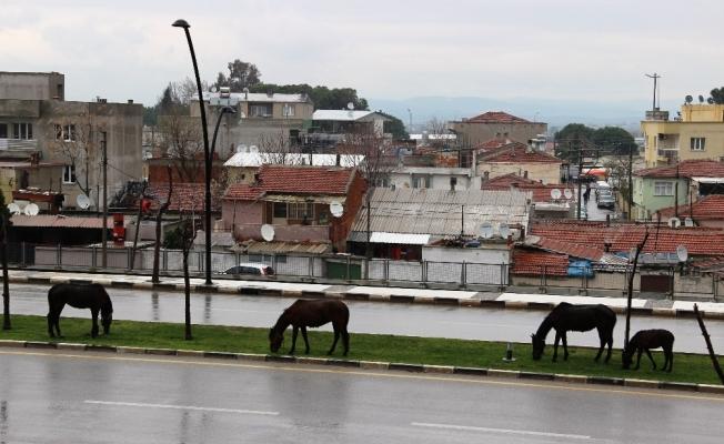 Başıboş bırakılan atlar tehlikeye davetiye çıkardı