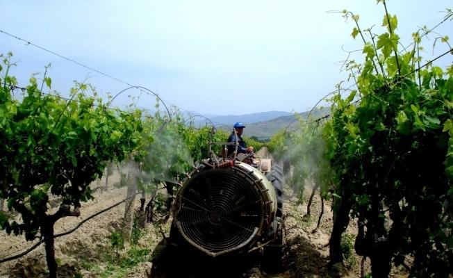 Sarıgöl üzüm bağlarında özenli çalışma