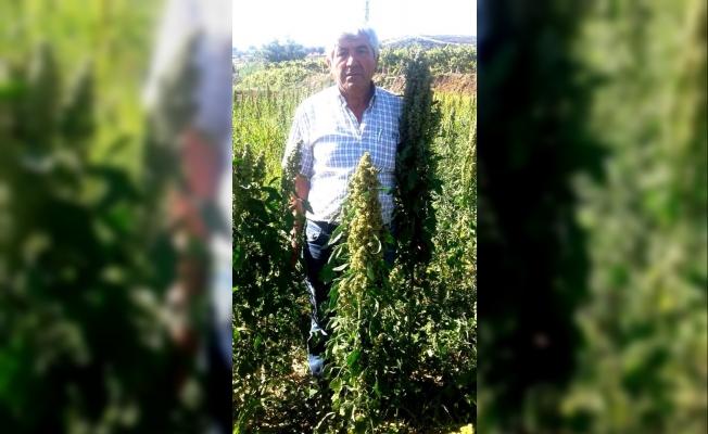 Sarıgöl'de kinoa bitkisi yetiştirildi
