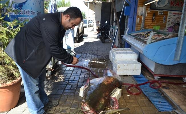 Manisa'da dev yayın balığı şaşkınlığı
