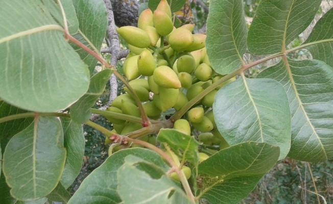 Yunusemre'de 27 bin ağaç aşılanacak