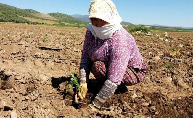 Yerli domates fideleri toprakla buluşmaya başladı