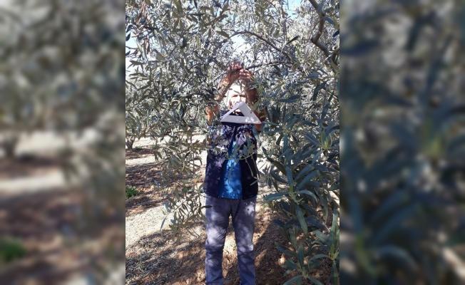Zeytin sineğine karşı tuzak kuruldu