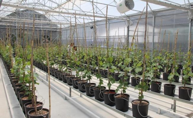 (Özel) Üzüm sektöründe ihracatı katlayacak proje