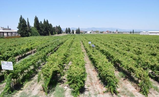 Manisa'da üzüm hasadı başladı