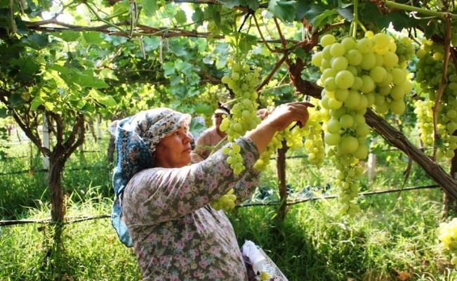 Sarıgöl'ün üzümleri koruma altında