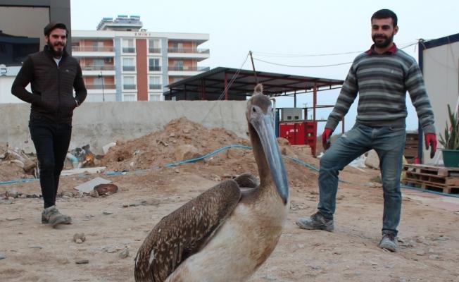 Yorgun düşen pelikana inşaat işçileri sahip çıktı