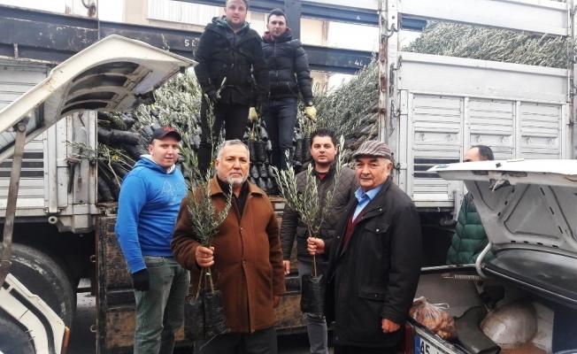 Kırkağaç'ta Ziraat Odası zeytin fidanı dağıtımına başladı