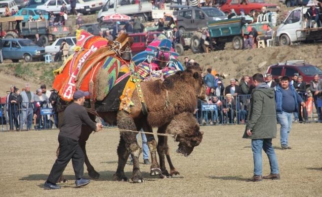 Sarıgöl deve güreşleriyle renklendi