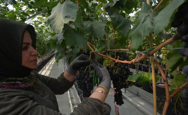 Türkiye'de ilk defa kapalı sistem serada üzüm hasat edildi
