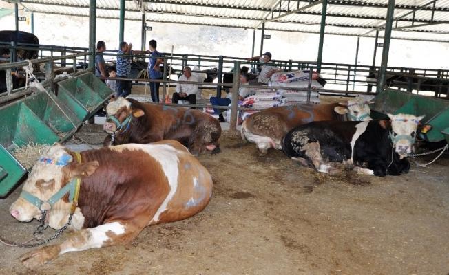 Manisa'da kurbanlık hayvan sıkıntısı yok