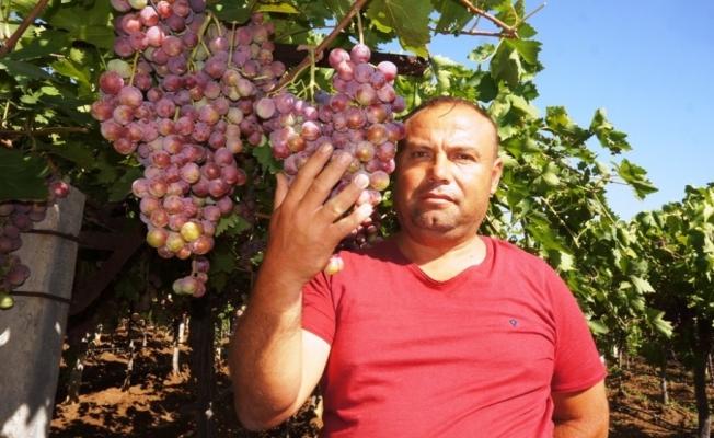 Sarıgöl Ovası'nda üzüm türleri çoğaldı