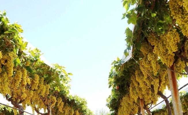 Sarıgöl üzümü dünyaca ünlü zincir marketin raflarına giriyor