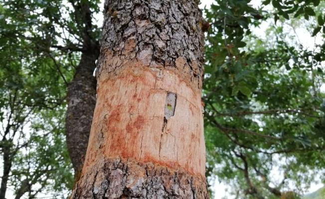 Yunusemre'de yabani zeytin ve menengiç ağaçları aşılandı