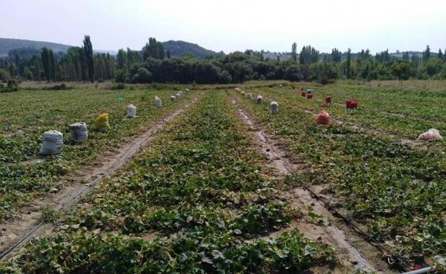 Turşuluk salatalıktan 25 milyonluk gelir