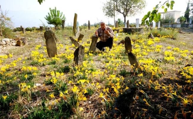 Sarı çiğdemler 200 yıllık mezarlığı her yıl sarıya bürüyor