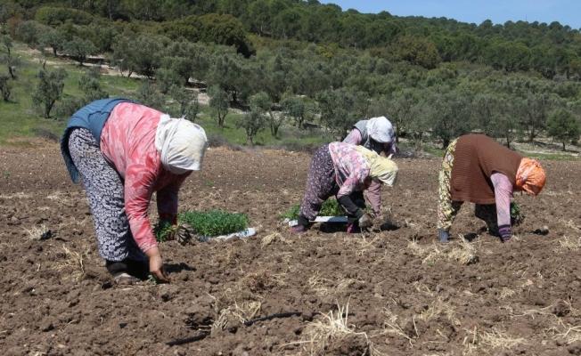 Domates fideleri toprakla buluştu, üreticiler sezondan umutlu