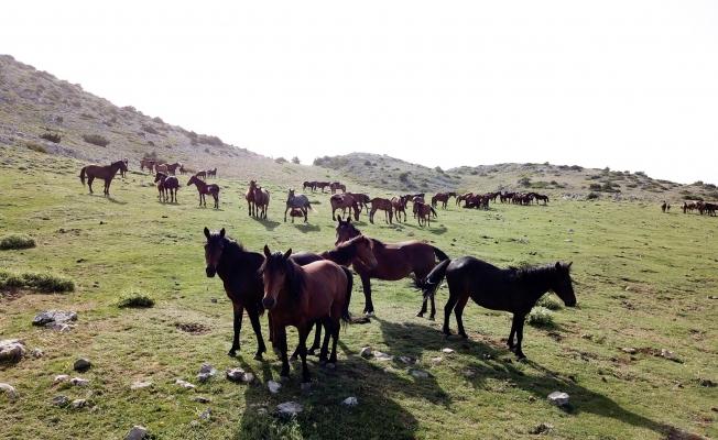 Yılkı atları özgürlüğün tadını çıkarıyor!