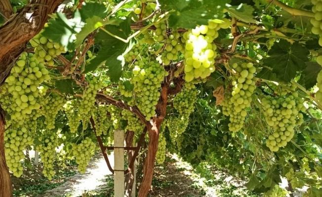 'Superior Seedless' üzüm çeşidi için 2020 yılı hasat ve ihraç tarihleri belirlendi