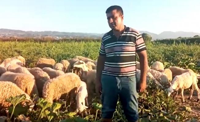 Domates üreticisinden 'koyunlu' tepki