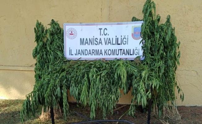 Manisa'da ormanlık alanda 480 kök kenevir ele geçirildi