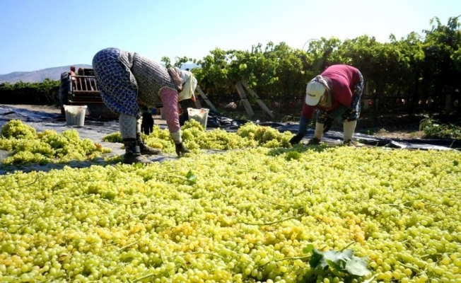 Yaş üzüm üreticileri kurutmalık üzüme yöneldi