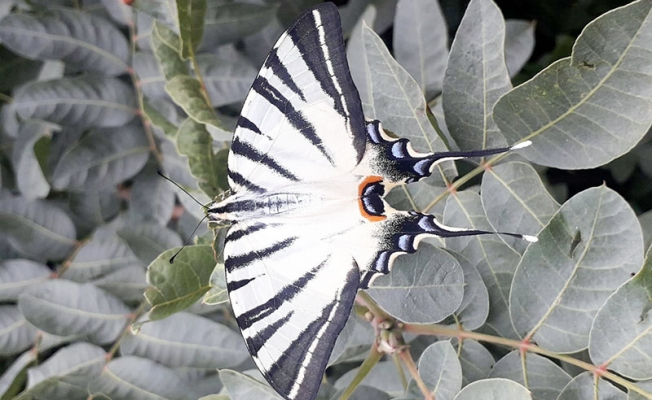 'Zebra çatalkuyruklu kelebek' türü, bu kez Manisa'da göründü