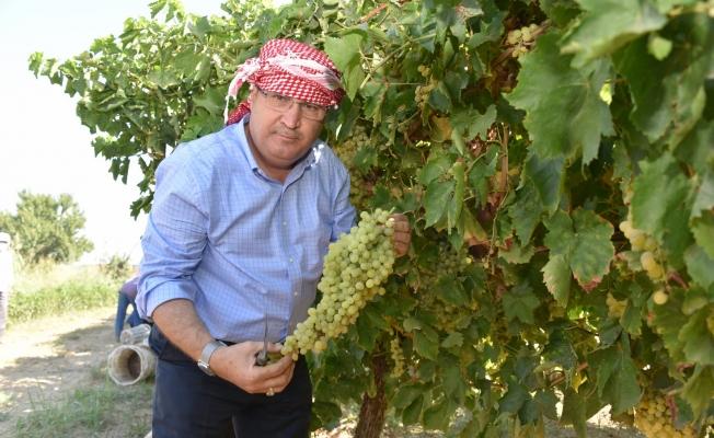 Başkan Çerçi bağda üzüm kesti, sergi yaptı
