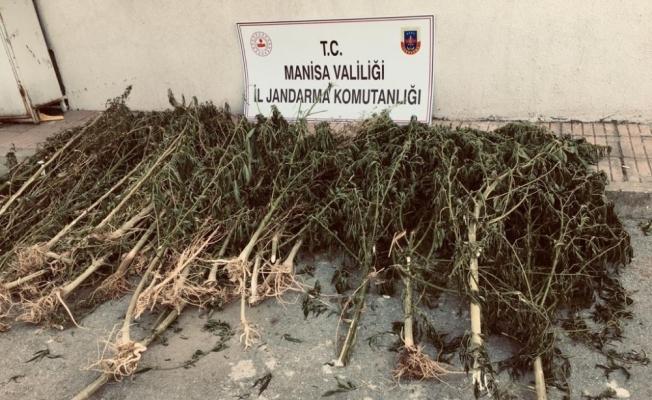 Manisa'da 11 bin 340 kök kenevir ele geçirildi