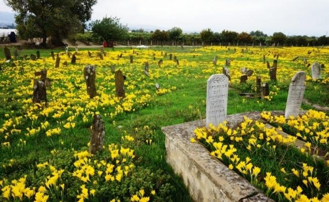 Asırlık mezarlığı sarı zambaklar kapladı