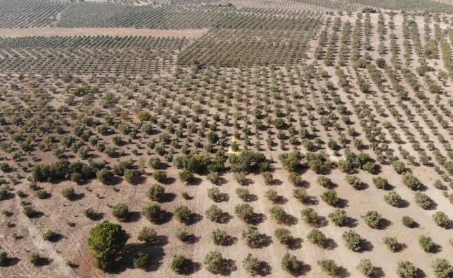 (Özel) Manisa'da 'Domat Zeytin' hasadı başladı
