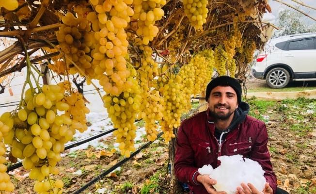 Sarıgöl'de kar altında üzüm hasadı