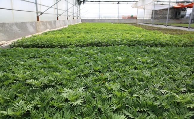 Büyükşehirin serasında 600 bin çiçek tohumu ekildi