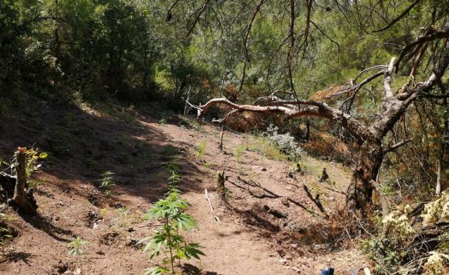 Ormanlık alana ekili 297 kök kenevir ele geçirildi