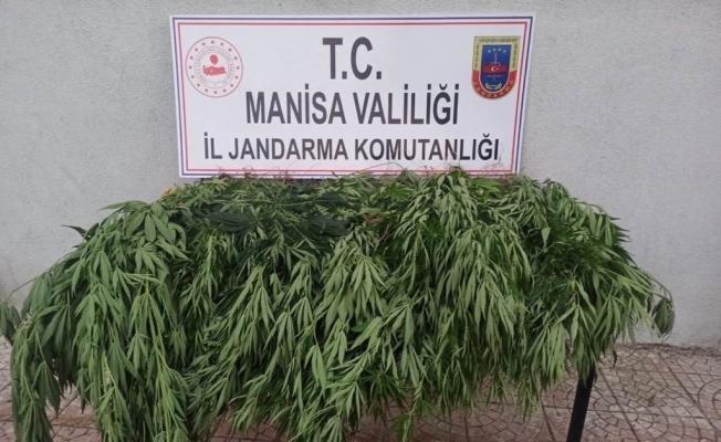 Manisa'da kenevir operasyonu: 50 kök ele geçirildi
