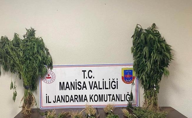 Manisa'da 153 kök kenevir ele geçirildi