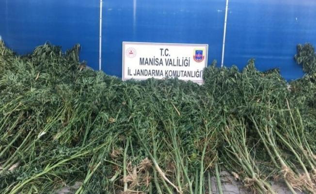 Manisa'da bin 740 kök kenevir ele geçirildi