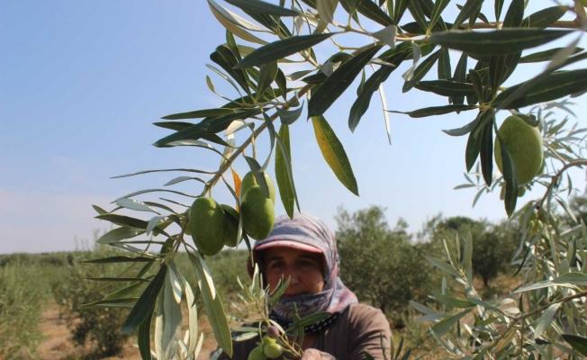 Manisa'da 'Domat ve Tekir' zeytini hasadı başladı