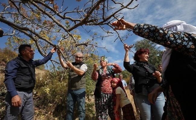 Orman Bölge Müdürü Selendi'de Antep fıstığı hasadına katıldı