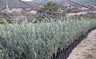 Manisa'da Arbequina çeşidi zeytin fidanına ilgi artıyor