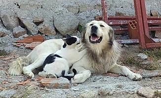 Köpeğe masaj yapan kedi şaşırttı