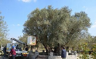 (Özel) Kırkağaç'taki bin 657 yıllık zeytin ağacına bakım