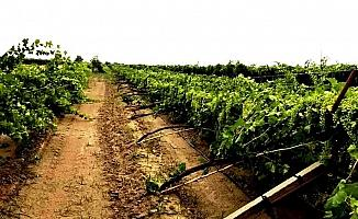 Dolu üzüm bağlarında zarara yol açtı