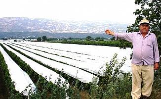 Sarıgöl üzüm bağlarının yüzde 50'si örtü altında