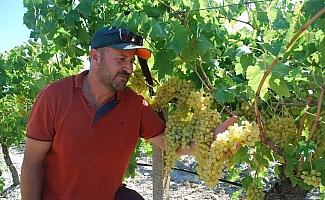 Sultaniye üzümde hasat zamanı, üreticiden 12 lira fiyat beklentisi
