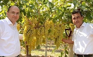 Cezaevinde sultani üzüm hasadı