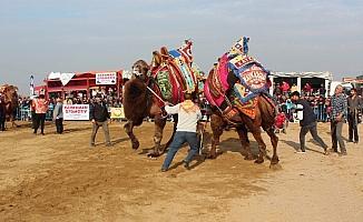 Manisa'da develer kıran kırana güreşti