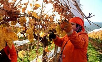 Manisa'da Ocak ayında üzüm hasadı